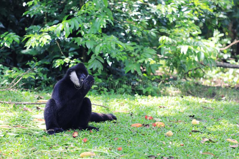 Pileated Gibbon or Asian Black monkey. Pileated Gibbon or Asian Black monkey to eating foods on the green grass stock photos