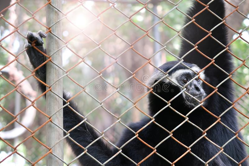 Pileated gibbon in the zoo. Pileated gibbon in the cage royalty free stock photos