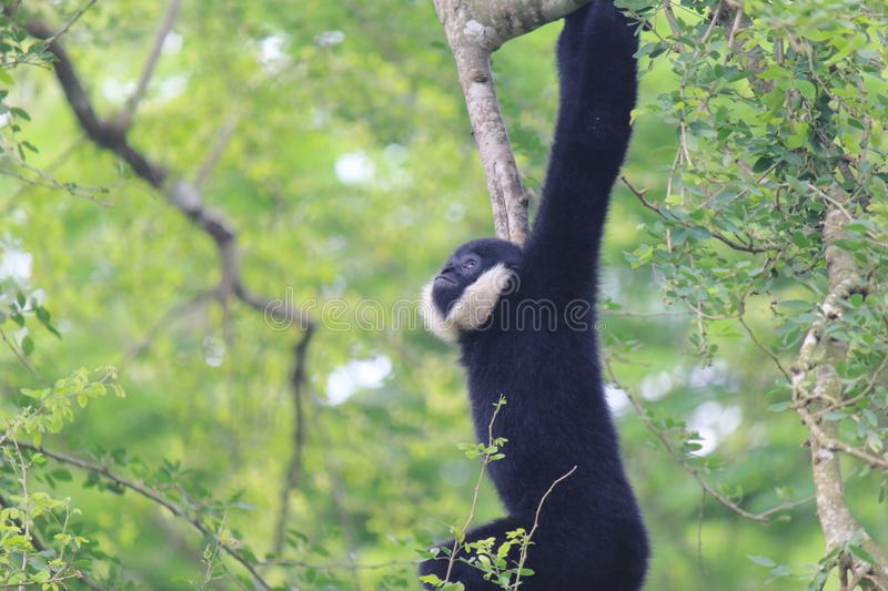 Pileated Gibbon Hylobates pileatus. Pileated Gibbon found in Lao, and Cambodia in Western part of Mekong River. In Thailand royalty free stock photos
