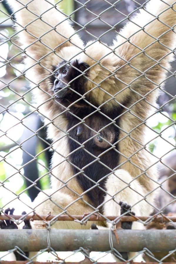 Pileated Gibbon kobieta Przez tralki. fotografia stock