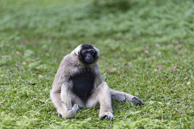 Pileated gibbon. Sitting on the grass field royalty free stock images