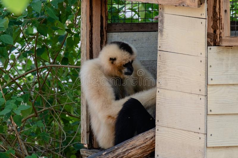Pileated gibbon in the tree house stock photography