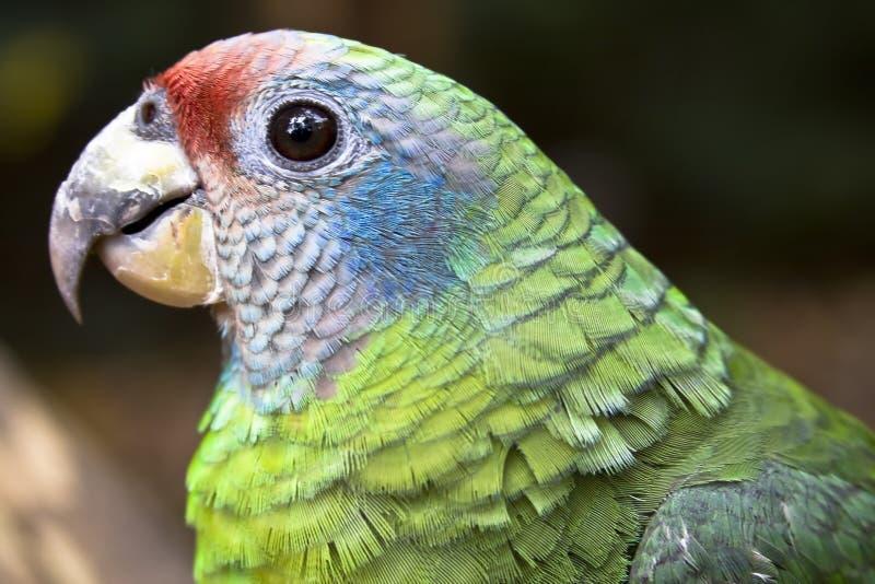 pileated papegoja royaltyfria bilder