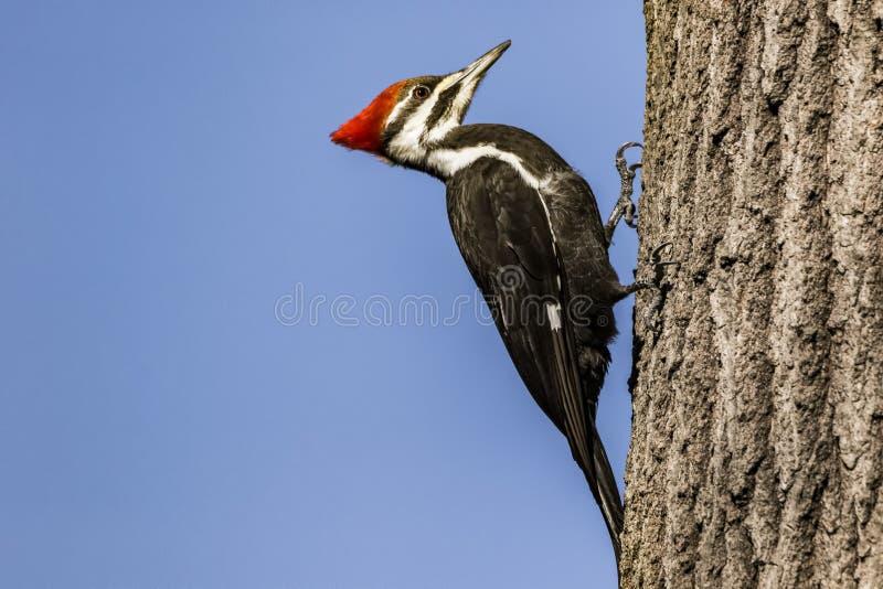 Pileated-Specht auf einem Baum lizenzfreies stockfoto