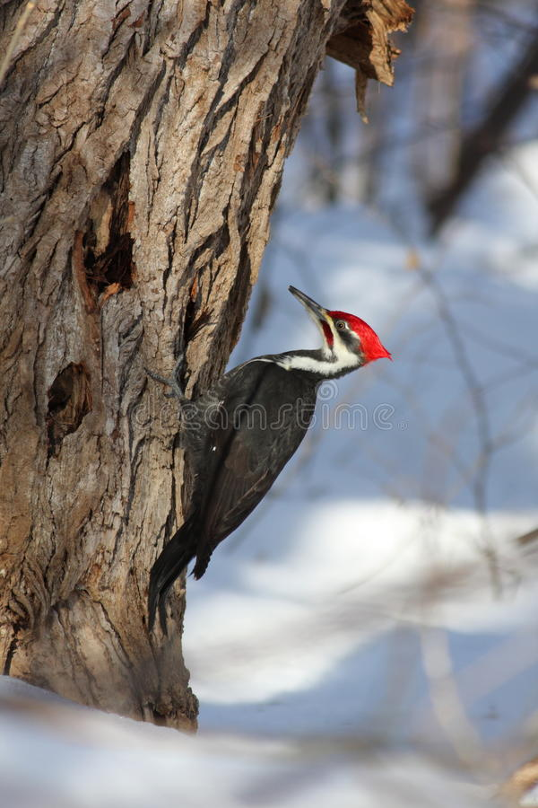 Pileated Woodpecker Royalty Free Stock Image