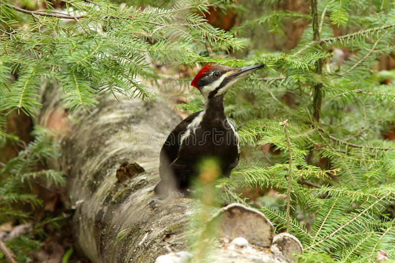 Pileated woodpecker. (Dryocopus pileatus) in natural suroundings royalty free stock photography