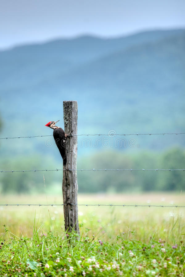 Pileated Woodpecker. On fence post stock photography
