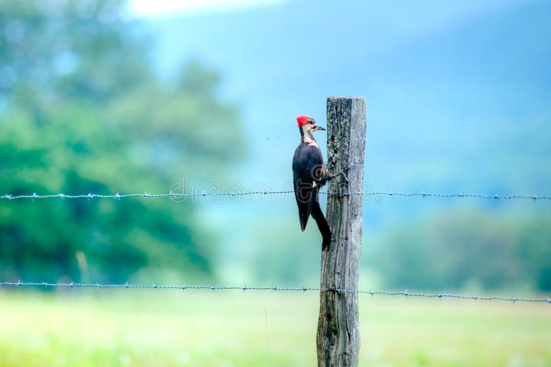 Pileated Woodpecker. On fence post stock photos