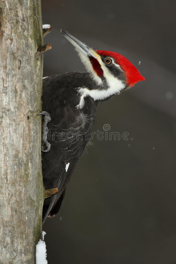 Download Pileated Woodpecker stock image. Image of plumage, canada - 28537639