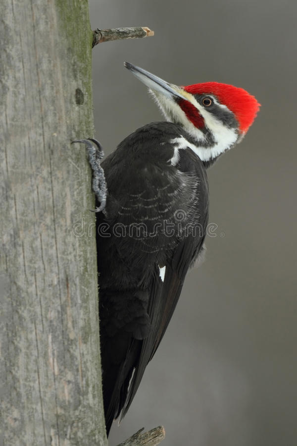 Pileated Woodpecker. Male Pileated Woodpecker (Dryocopus pileatus) on a Dead Pine Tree - Ontario, Canada royalty free stock photography