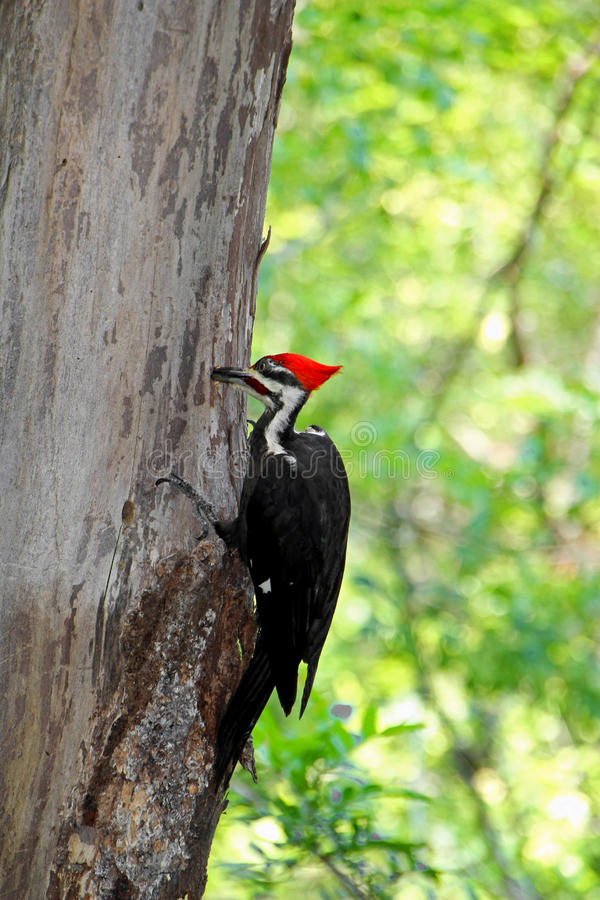 Pileated woodpecker bird. Pecking on a tree in Six Mile Cypress Slough Preserve, Fort Myers, Florida, USA royalty free stock photo