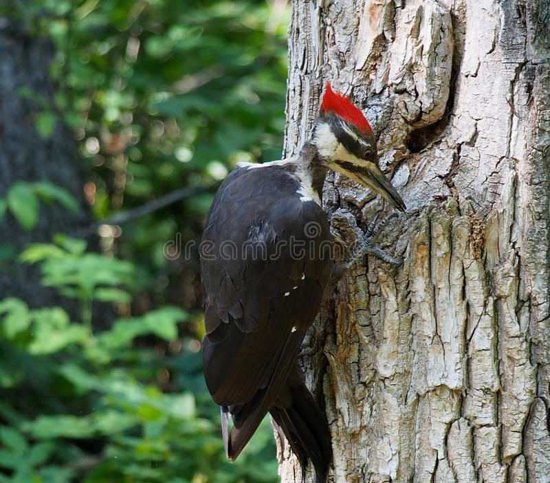 Male Pileated Woodpecker Or Dryocopus Pileatus. Pileated woodpecker or Dryocopus pileatus looking for insects in tree in summer royalty free stock photography