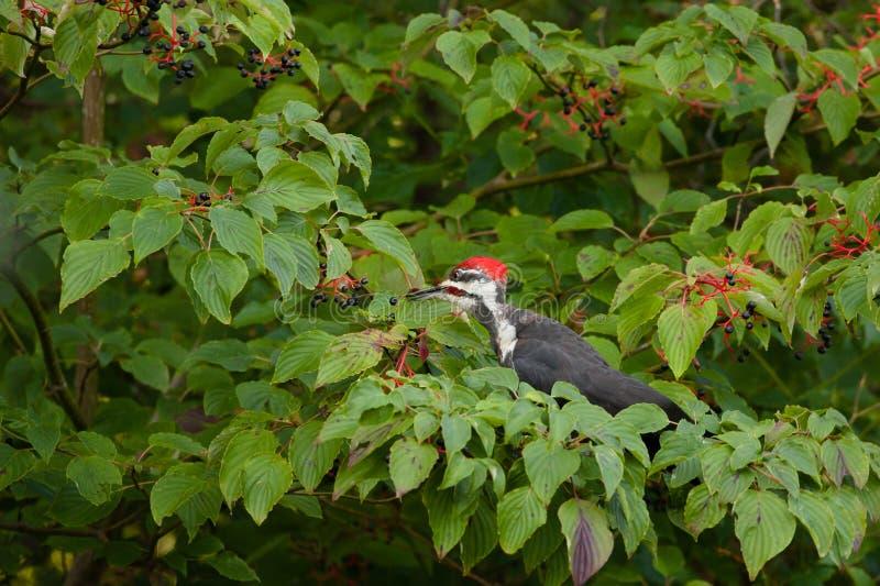 Pileated Woodpecker. Feeding on Dogwood Tree Berries stock photo