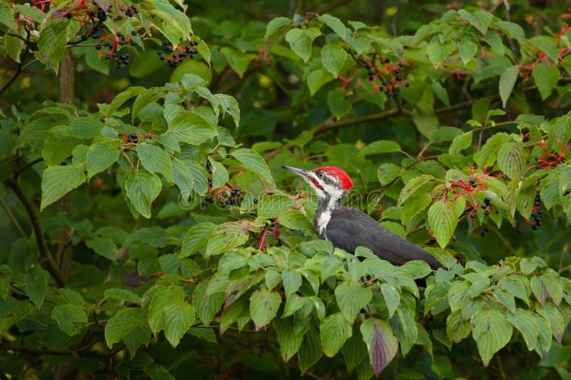 Pileated Woodpecker. Feeding on Dogwood Tree Berries stock image