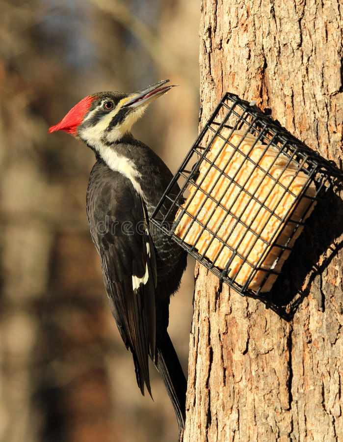 Pileated Woodpecker. Female pileated woodpecker at suet feeder with tongue visible stock photo