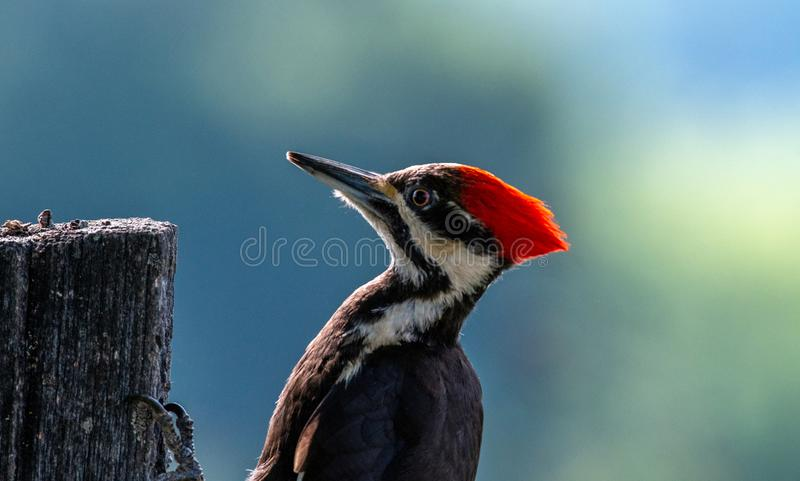 Pileated woodpecker on fence post royalty free stock image