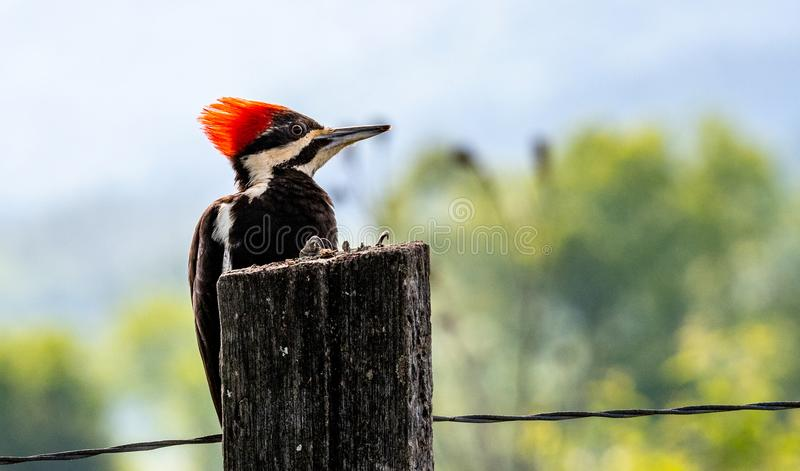 Pileated woodpecker on fence post stock images