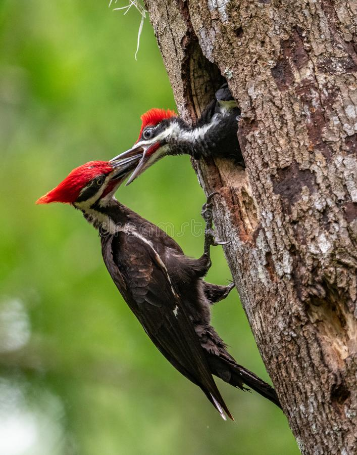 Pileated Woodpecker in Florida stock image