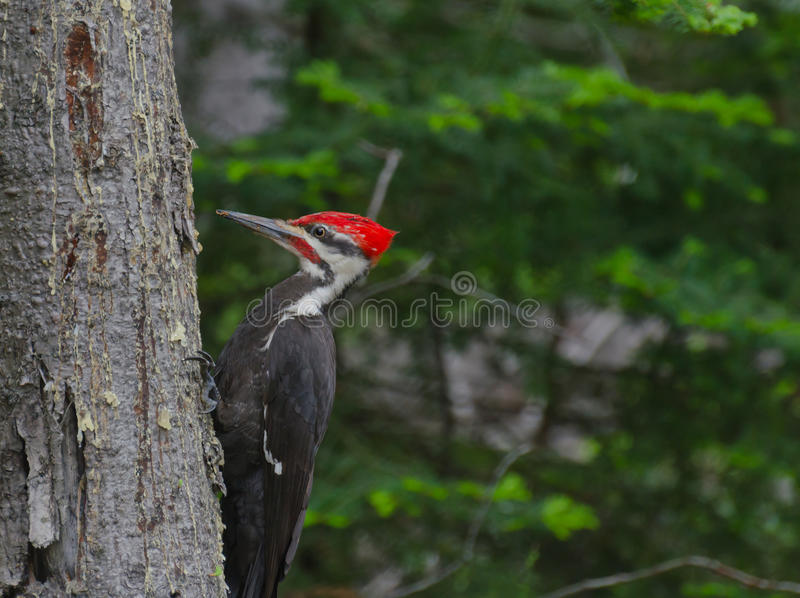 Pileated Woodpecker in forest. Pileated Woodpecker (Dryocopus pileatus) on tree in the forest stock photo