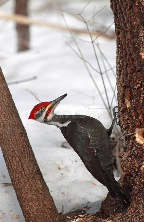 Download Pileated woodpecker male stock image. Image of fauna - 13268387
