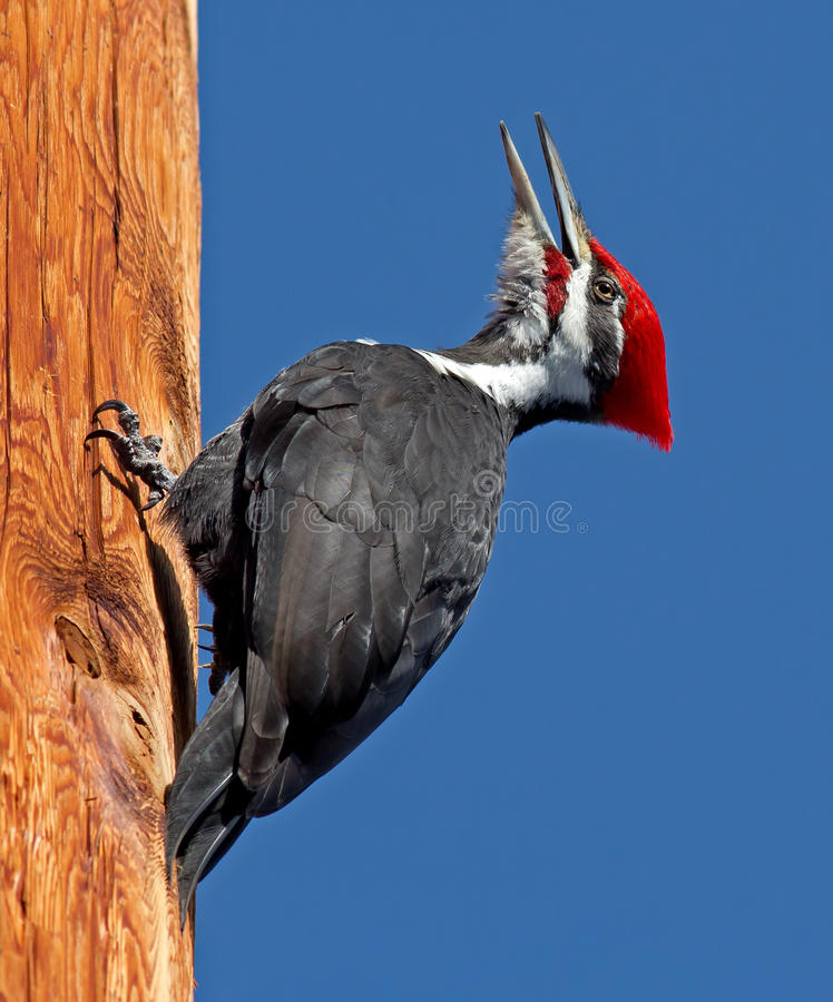 Pileated Woodpecker. Portrait of a Pileated Woodpecker climbing a telegraph pole. This is the largest Woodpecker of the United States. Adults are 40 to 49 cm (16 stock photography