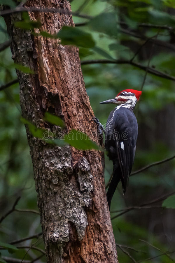 A Pileated Woodpecker on a Tree in the Woods. A pileated woodpecker pecking on a tree in the woods royalty free stock images