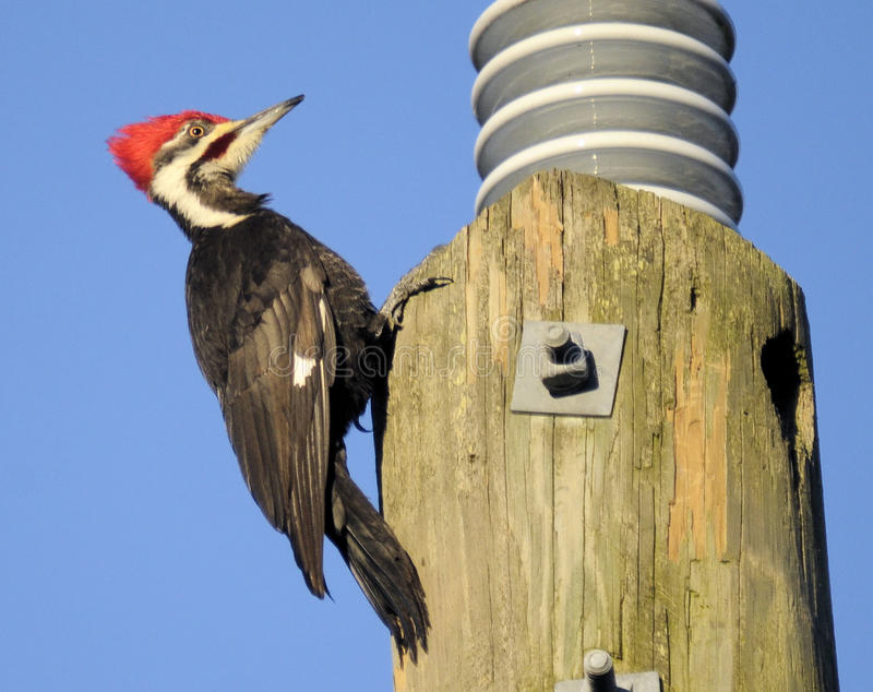 Pileated Woodpecker. The Pileated Woodpecker in the wetlands of south Florida royalty free stock photography