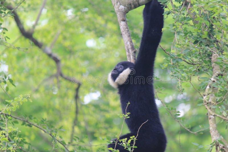 Pileatus del Hylobates de Pileated Gibbon fotos de archivo libres de regalías
