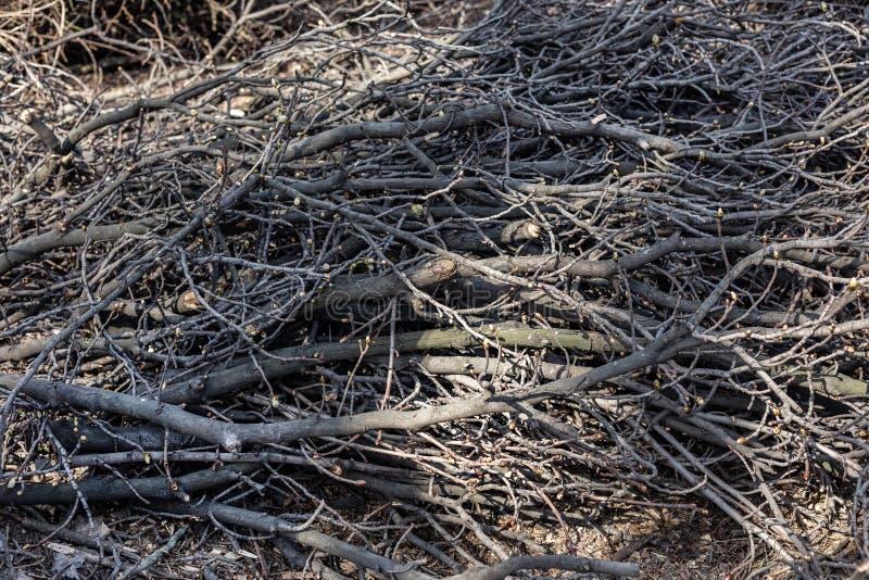 Piles des branches d'arbre coupées en parc de ville Déboisement sanitaire Tas de broussaille et de bois mort secs photo stock