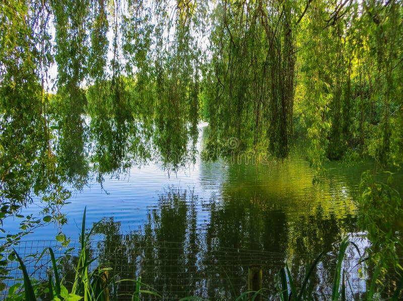 Pilfilialer böjde över det gröna vattnet av sjön arkivbild
