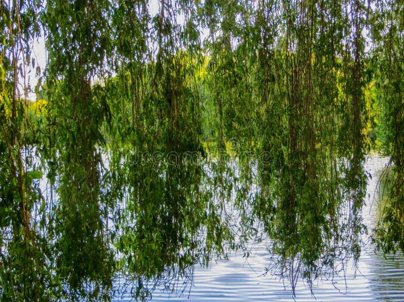 Pilfilialer böjde över det gröna vattnet av sjön arkivbilder