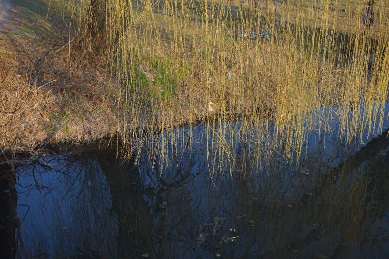 Pilfilialer hänger över vattnet tidig fjäder royaltyfri fotografi