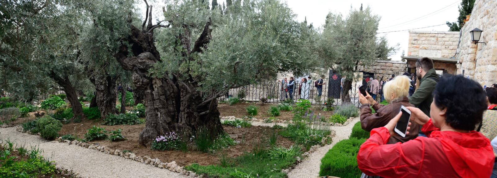 Pilgrims in Gethsemane Garden. Jerusalem. Panorama. The international groups of pilgrims are astonished, paying and taking pictures in the Garden of Gethsemane royalty free stock photo