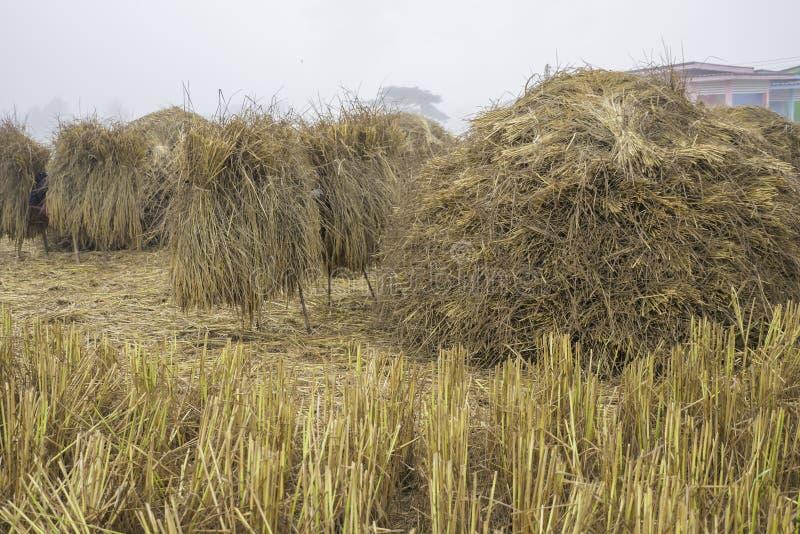 A pilha da palha seca do arroz no campo enevoado prepara-se para recolher a grão do arroz imagem de stock
