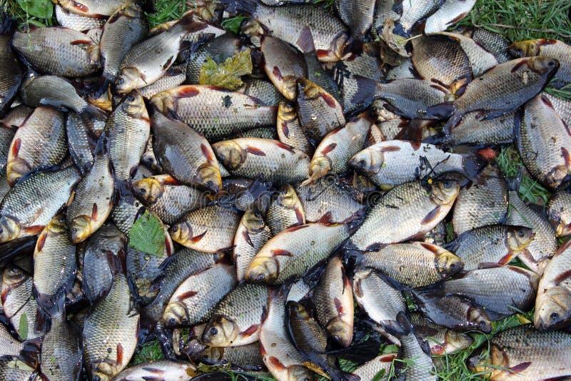 Pilha de crucians travados na grama verde Pesca bem sucedida foto de stock