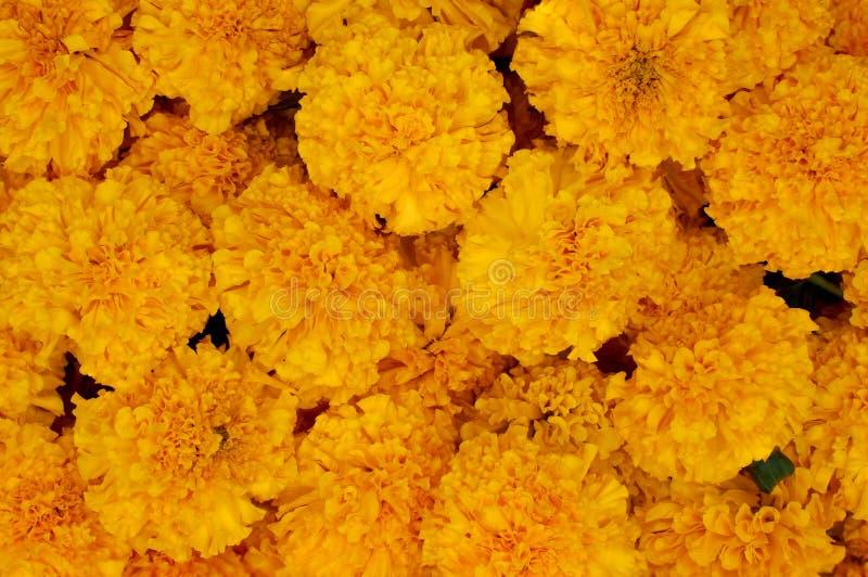 Pilha de flores amarelas do cravo-de-defunto fotografia de stock