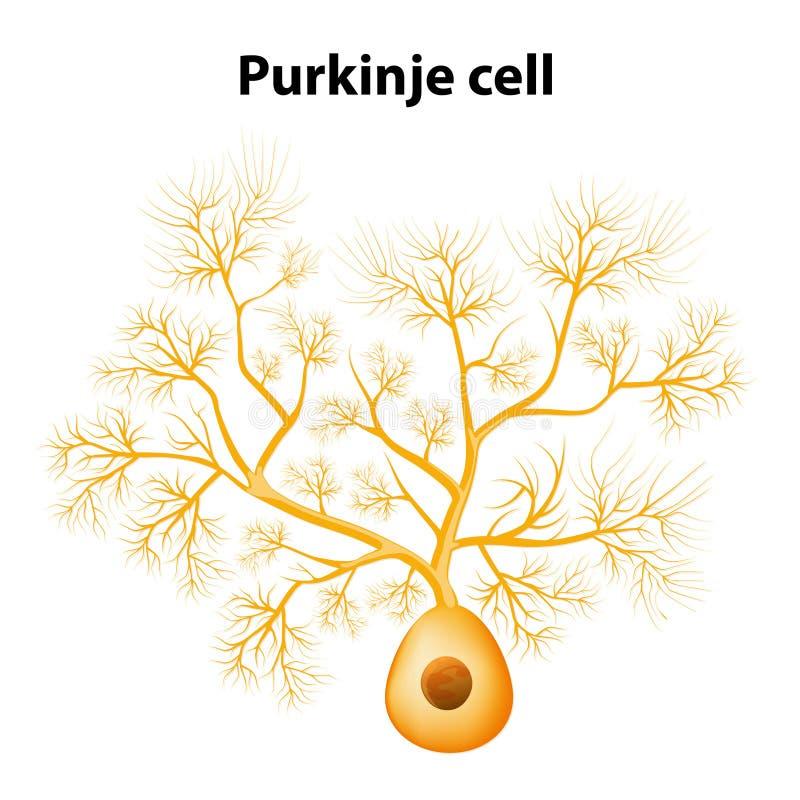 Pilha de Purkinje ou neurônio de Purkinje ilustração stock