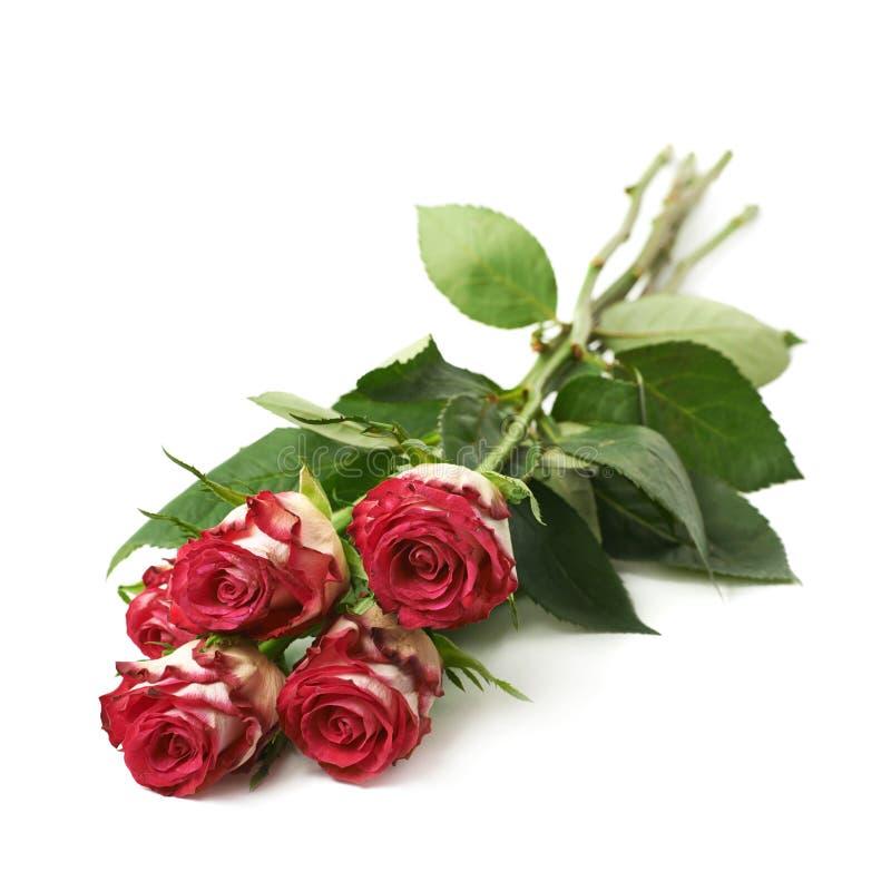 Pilha de quatro rosas isoladas fotografia de stock