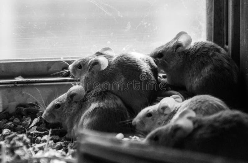 Pilha preto e branco do rato ilustração royalty free