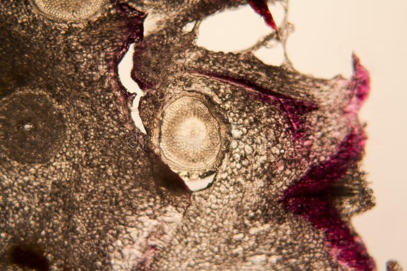Pilhas de raiz da cebola no microscópio foto de stock royalty free