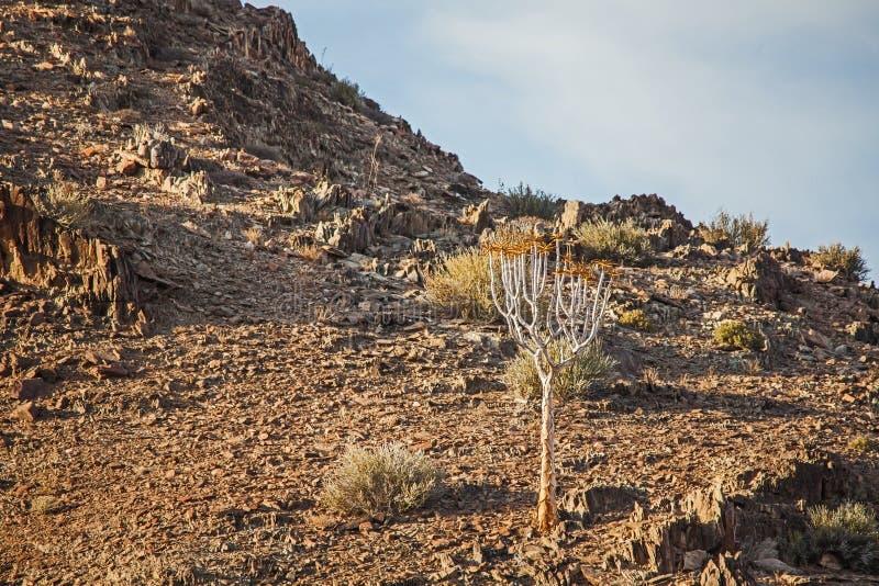 Pillansii 3 d'Aloidendron d'arbre de tremblement image libre de droits