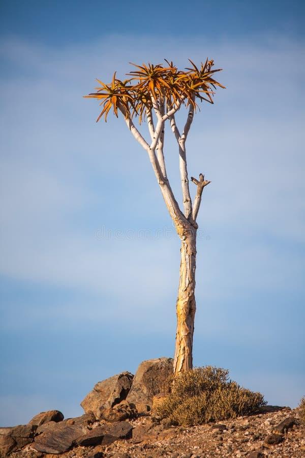 Pillansii 5 de Aloidendron del árbol del estremecimiento imagenes de archivo