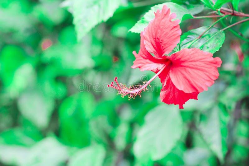 Pillen den röda hibiskusen för färgrika blommor med lång guling eller chabablomman som blommar i trädgårdbakgrund royaltyfria foton