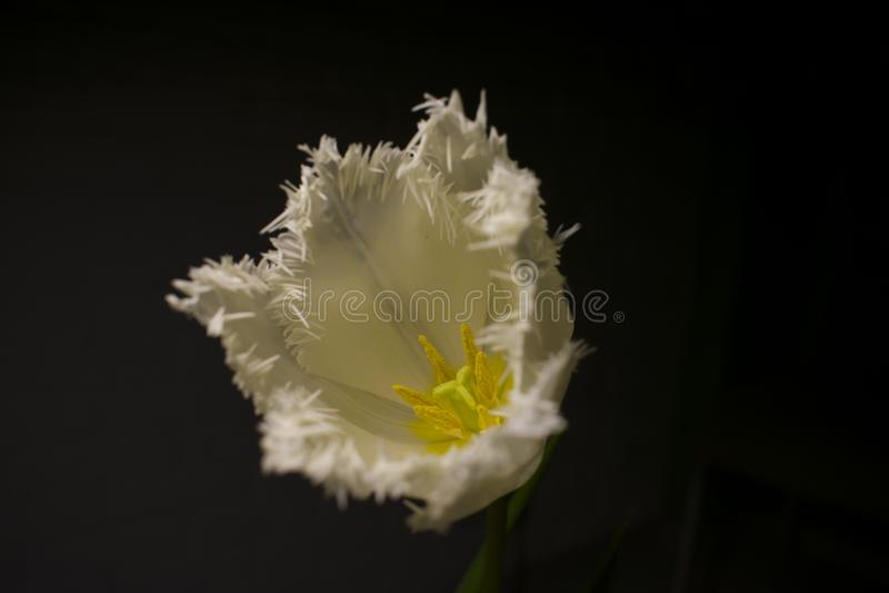 Pilon jaune de fleur images libres de droits