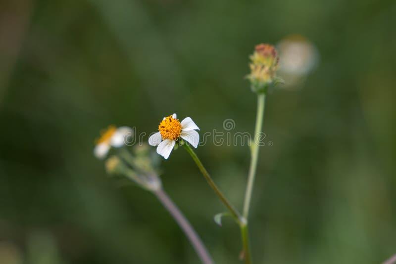 Pilosa Bidens, малый белый полевой цветок стоковые фото