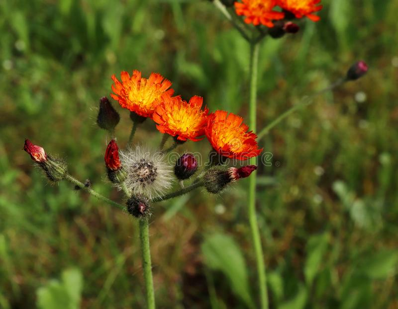 Pilosella aurantiaca山柳aurantiacum橙色水兰属的植物亦称可爱的橙色花和Fox和Cub是perenn 免版税图库摄影