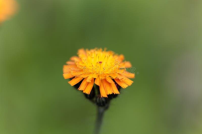 Pilosellaaurantiaca för orange hawkweed royaltyfria bilder