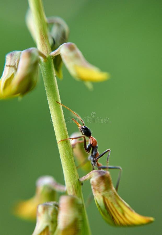 Pilosula di Jack Jumper Ant Myrmecia fotografia stock libera da diritti