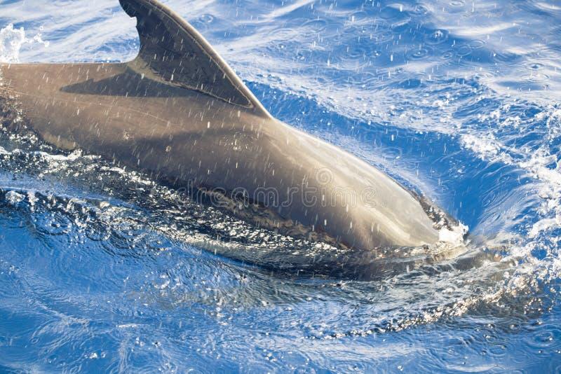 Download Pilot whale stock image. Image of whale, pilot, flipper - 25642911