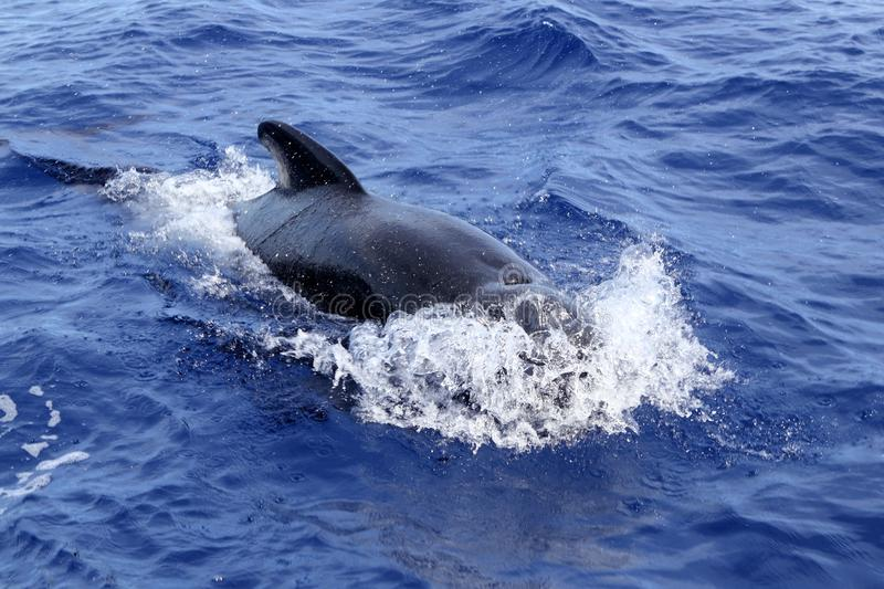 Pilot whale free in open sea blue mediterranean stock photography